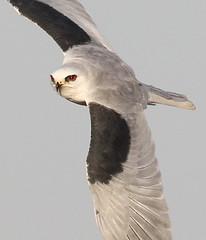 White-tailed Kite (gainesp2003) Tags: whitetailed kite bird birding raptor inflight flying onthewing wildlife sacramento ca california