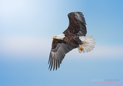 Dominance Perceived is Dominance Achieved (Fly to Water) Tags: bald eagle flight flying utah wildlife birdphotography bird photography professional nikon d850 600mm f4 fl bif outdoors adult mature haliaeetus leucocephalus american sky blue