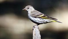 Pine Siskin -- (Carduelis pinus); Santa Fe National Forest, NM, Thompson Ridge [Lou Feltz] (deserttoad) Tags: bird wildbird siskin nature animal mountain songbird fauna newmexico nationalforest
