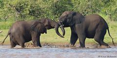 A little skirmish (leendert3) Tags: wildlife southafrica krugernationalpark nature mammals africanelephant leonmolenaar ngc naturethroughthelens npc coth5