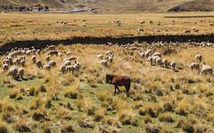 Horse and lamas in La Raya - Peru (Marconerix) Tags: horse llama lama peru laraya 4000 4335 andes ande cavallo freedom green nature mountains mount southamerica