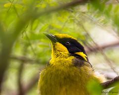 (Laszlo Papinot) Tags: bird healsville zoo animals helmetedhoneyeater zoosvictoria healsvillesanctuary honeyeater