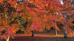 Fall foliage at Kyoto Imperial Place Park