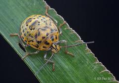 Stink bug nymphs (Pentatomidae) 2G1A6596 (KS Tan Photo) Tags: pentatomidae