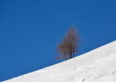 Larici contro il cielo (giorgiorodano46) Tags: marzo2019 march 2019 giorgiorodano solda sulden sudtirolo altoadige italy larici larches melezes neve neige snow parconazionaledellostelvio stilfsernationalpark