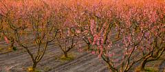 Mutlu Karmaşa (Happy Chaos) (SBastan) Tags: ağaçlar anatolia anadolu aegea asia beauty batıanadolu colors color calmandpeace ege egebölgesi environment foliage flowers flower gezi gorgeous güneş h2o harika hotcolors huzur hayat ışık ışıklar iloveturkey landscape lights light life manzara nature nikond610 nikon photography perfect pink serhatbaştan sbastan splendid sunset sun sunlight türkiyeyiseviyorum türkiye turkey travel trees tamronsp2470mmf28divcusd yeşil izmir wideangle westanatolia textures