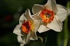 Narcisse (prokhorov.victor) Tags: цветок цветы растения флора сад природа весна макро