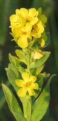 pretty in yellow (Cheryl Dunlop Molin) Tags: yellowwildflowers indianawildflowers commonmullein commonmulleinflowers