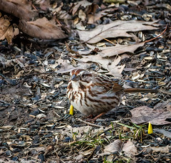Spring Tease (Portraying Life, LLC) Tags: cropapsc dbg6 hddfa150450 hd14tc k1mkii michigan pentax ricoh topazaiclear unitedstates bird closecrop handheld nativelighting sparrow spring