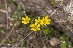 Зірочки богемські (ucrainis) Tags: gagea bohemica flower flora floral flowers spring yellow nature khortytsia ukraine blooming botanic botanical