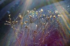 Droogboeket... #2019#assen#flower#sun#sunrays#dryflower#dried#dead#flower#winter#naturephotography#nature#photography#love#photooftheday#explore#outdoor#wanderer#wanderlust#moodygrams#see#beauty#world#moodygrams#instadaily#instamoment#loveit (agnes.postma.hoogeveen) Tags: love photooftheday dryflower sunrays wanderlust loveit moodygrams beauty naturephotography winter dead dried sun see world wanderer explore nature assen instadaily flower outdoor 2019 instamoment photography