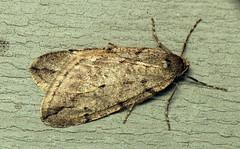 bug of the day (urtica) Tags: framinghamma ma massachusetts framingham usa bugoftheday insect moth cankerworm springcankerworm springcankerwormmoth lepidoptera geometridae paleacrita paleacritavernata
