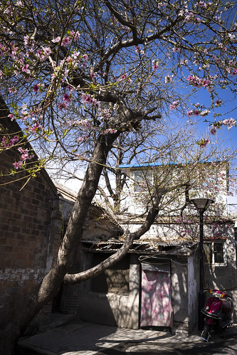 Spring in the hutong