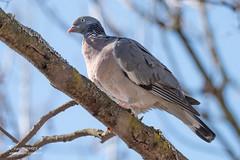 Pigeon colombin - 6934 (Luc TORRES) Tags: annecy auvergnerhônealpes columbidés columbiformes faune france hautesavoie lacdannecy nature oiseaux pays pigeoncolombin