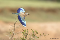 # Indian Roller...........in flight !! (Dr Prem K Dev) Tags: inland indian india incedible roller bif beautiful bird bokeh bg wings wingspan woodland wild wildlife wonderful brown blue hues nature action attractive avian chennai colourful composition takeoff siruthavur spread subcontinent thiruporur tropical flight