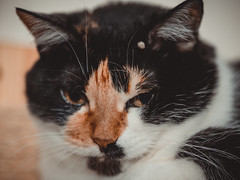"""""""How many more clicks?"""" (donnicky) Tags: annoyed blurredbackground cat closeup home indoors looking lookingatcamera oneanimal pet publicsec whiskers лилу"""