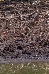 Crested Bobwhite (Mario Arana G) Tags: 7d ave bird birding cr canon costarica crestedbobwhite estacionhorizontes florayfauna guanacaste marioarana nature naturephotography photography wildlife wildlifecostarica