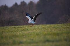 DSC_3473 (d90-fan) Tags: storch schwarzwald calw 2019 frühling wiese natur vogel zugvogel nordschwarzwald nikon d750 nikond750
