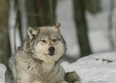 1U9A9645 (erenatial) Tags: sanctuary haliburton center wolf winter snow forest