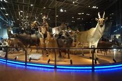 大地を駆ける生命、進化の頂点・野生大型獣 (yuki_alm_misa) Tags: eland gianteland africanbuffalo エランド アフリカスイギュウ ジャイアントイーラン stuffed 骨格標本 剥製 国立科学博物館 nationalmuseumofnatureandsciencetokyo