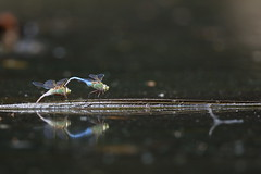Tractor beam activated (Phátography 分店) Tags: arboretum california canon canoneos7dmarkii 7dmarkii 600mm 600mmf4 ef600mmf4lisiiiusm dragonfliesmating dragonflies mating insect