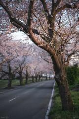 桜 (fumi*23) Tags: ilce7rm3 sony street sel85f18 a7r3 cherryblossom plant flower road japan emount bokeh dof miyazaki 85mm fe85mmf18 桜 花 宮崎 ソニー