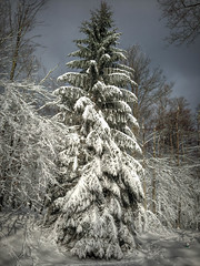 Freshly fallen snow... (stevebfotos) Tags: westvirginia2012 christmasinthemountains reviewtodelete davis westvirginia unitedstates us