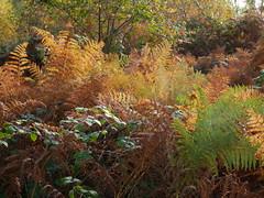 A walk in the woods at Little Milford (Dubris) Tags: wales cymru pembrokeshire littlemilford haverfordwest rural woodland fern bracken