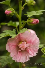 Pink Hollyhock (Anna Calvert Photography) Tags: australia canberra flora floral flowers garden landscape macro macrophotography mygarden nature outdoors petals plants hollyhock