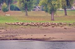 32 Dusseldorf octobre 2018 - des moutons au bord du Rhin le matin (paspog) Tags: dusseldorf düsseldorf allemagne germany deutschland rhin rhein rhine octobre october oktober 2018 rivière fleuve river fluss mouton sheep moutons