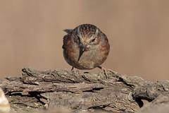 Passera scopaiola (Marcello Giardinazzo) Tags: passerascopaiola prunellamodularis avifauna natura uccelli birds