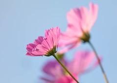 Cosmos against the Sky (mclcbooks) Tags: flower floral cosmos denverbotanicgardens colorado summer