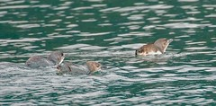 Little Blue Penguins (Eudyptula minor) (haroldmoses) Tags: marlboroughregion newzealand nz 2y3a3314 penguins picton queencharlottesound southisland fairypenguins korora
