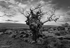 Dartmoor, Whiteworks Old Tree. (Lanstephan) Tags: trees dartmoor nikon d810 primelens