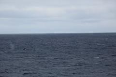 IMG_0329 (y.awanohara) Tags: humpbacks humpbackwhales whales whale southgeorgia scotiasea january2019 wildlife cetacean