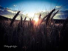Sommer ich vermisse Dich (Fini_stern) Tags: sommer felder sunset sonnenuntergang getreide abendhimmel abendstimmung naturephotography