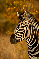 Zebra Portrait Autumn Colours _MG_2594 (933x1400) (David B Olsen) Tags: zebra stalion krugernationalpark wildlife wilderness autumn nature africa safari