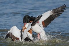Shelduck (females) Jan 2019 (b) (In Explore) (jgsnow) Tags: purple bird waterbird duck shelduck female fighting