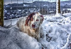 Rupert in the Snow (Missy Jussy) Tags: rupertinthesnow rupert rupertbear englishspringer springerspaniel spaniel dog dogwalk pet animal snow cold winter village newhey rochdale fence lane january 2019 50mm ef50mmf18ll ef50mm canon50mm fantastic50mm canon5dmarkll canon5d canoneos5dmarkii canon outdoor outside littledoglaughedstories