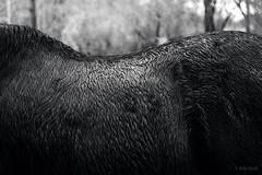 wet (Jen MacNeill) Tags: black white bnw horse percheron wet fur texture