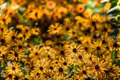 golden garden glow (cheezepleaze) Tags: gold yellow flower nature daisy sun bunch group patch garden paint warm hot hss bokeh
