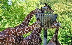 Girafes (claude 22) Tags: girafes zooparcdebeauval saintaignansurcher france suricate beauval park animalier animals sauvages wild nature zoo