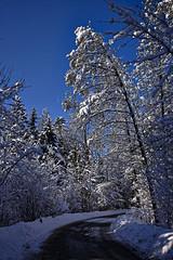 Schneebeladen (Helmut Reichelt) Tags: schneebeladen zweige winterwald strase schatten wald schnee viel sonne winter februar schwaigwall oberbayern bavaria deutschland germany leica leicam typ240 captureone12 dxophotolab leicasummilux35mmf14asphii