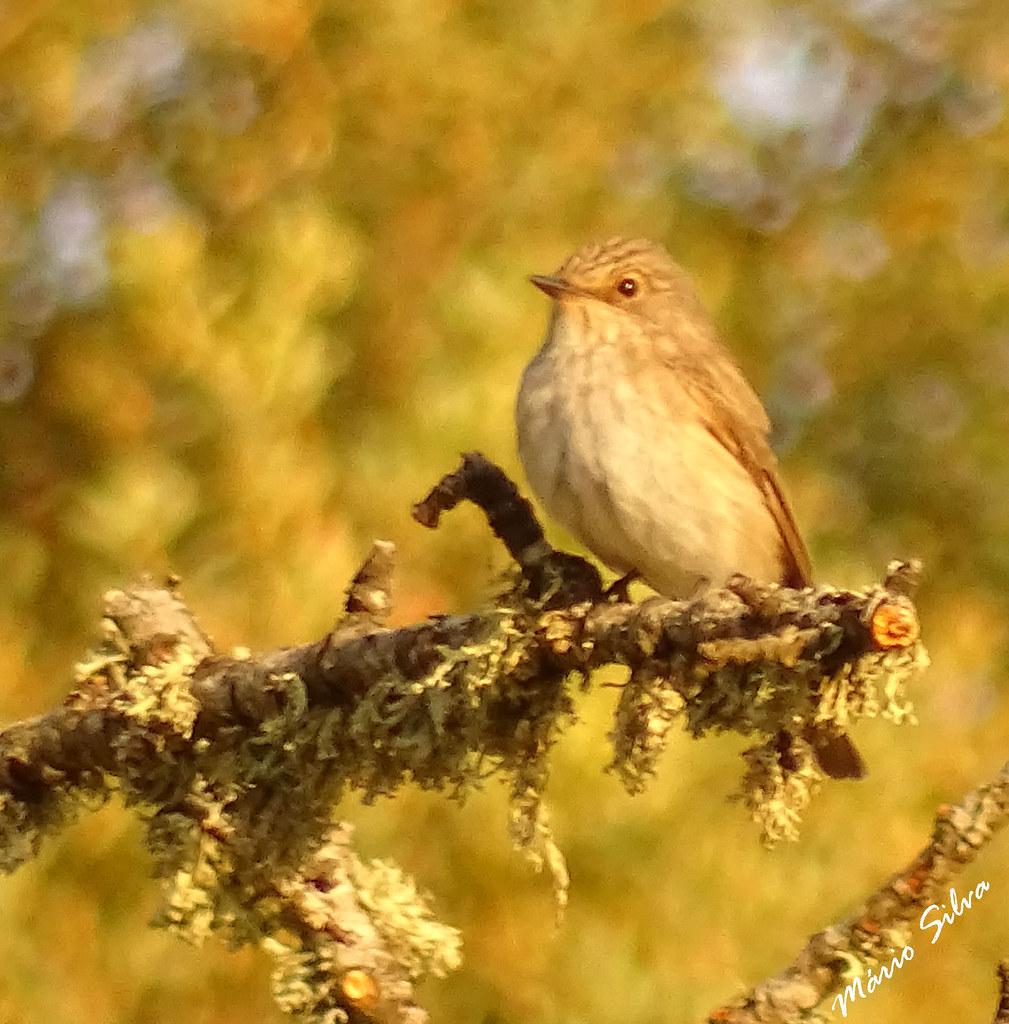 Águas Frias (Chaves) - ... ave descansando no ramo seco - Papa-moscas-cinzento (Muscicapa striata) ...