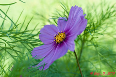 Cosmos (Guy_D_2018) Tags: цветок lule blumen ծաղիկ кветка цвете 花 flower 꽃 cvijet blomst flor lill kukka blodyn ყვავილების λουλούδι virág bunga bláth blóm fiore zieds gėlė цвет voninkazo fjura फूल bloem ਫੁੱਲ gul گل kwiat floare kvetina cvet blomma květina ดอกไม้ çiçek квітка hoa בלום زهرة nikon d90 fleur vétheuil iledefrance parcnaturelrégionalduvexinfrançais valdoise floralfantasy doublefantasy