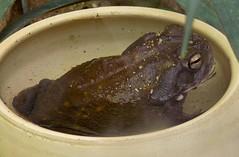 Coloradokröte (Incilius alvarius) P1050183 (martinfritzlar) Tags: zoo frankfurt zoofrankfurt tier amphibie froschlurch kröte coloradokröte sonoranetzkröte bufonidae incilius inciliusalvarius amphibian toad coloradorivertoad sonorandeserttoad