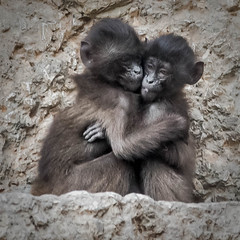 Love, that's all that counts (Valérie C) Tags: love friendship hug animal nature zoo zurich monkey baby babies siblings