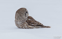 Barred Owl (salmoteb@rogers.com) Tags: bird wild outdoor nature wildlife ontario canada barred owl snow hunting animal nikon d810 f4 300mm