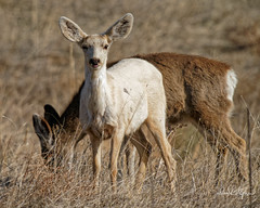 Leucistic Yearling Buck (dcstep) Tags: dsc3584dxo fe20xteleconverter leucistic yearling muledeer deer sonya9 fe400mmf28gmoss allrightsreserved copyright2019davidcstephens dx0photolab220