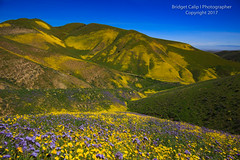 Down in the Valley (Bridget Calip - Alluring Images) Tags: 2017 alluringimagescolorado bridgetcalip california californiavalley californiapoppies carrizoplainnationalmonument carrizoplains nationalmonument phacelia sanandreasfault sanluisopisbocounty superbloom temblorrange allrightsreserved blazingstar blueskies copyrighted coreopsis desertcandles goldfields lupine monolopia rollinghills spring wildflowers